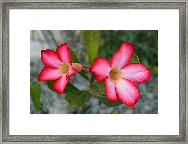 Adenium Flower Framed Print
