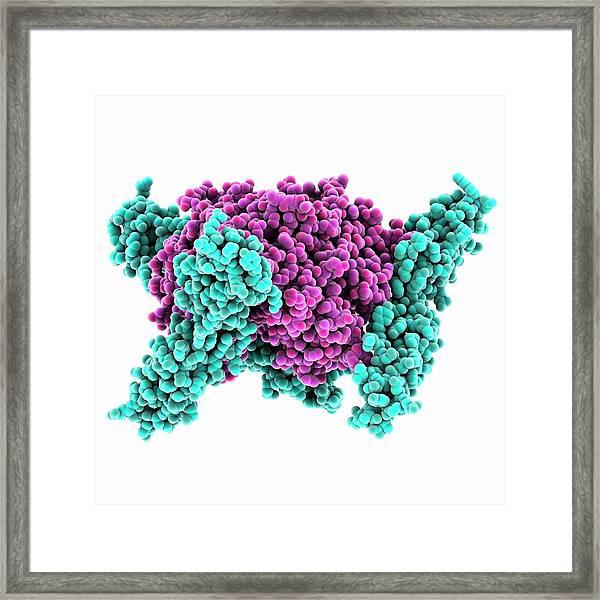 Adenovirus Host Cell Receptor Molecule Framed Print