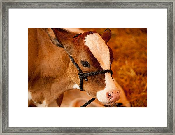 Adorable Calf Framed Print