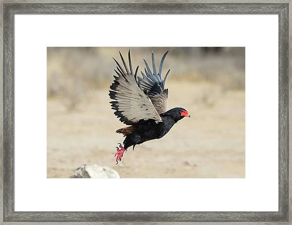 Adult Bateleur Eagle Taking Off Framed Print by Tony Camacho/science Photo Library