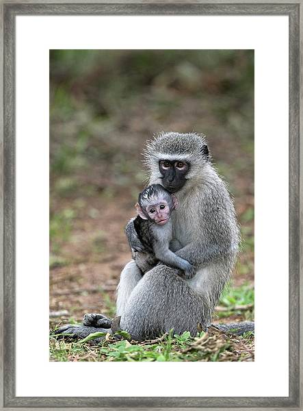 Adult Female Vervet Monkey With Young Framed Print