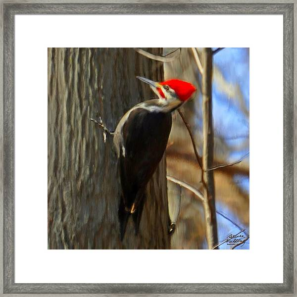Adult Male Pileated Woodpecker Framed Print