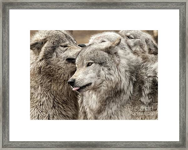 Adult Timber Wolf Framed Print