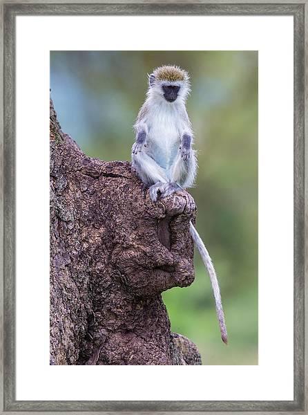 Africa Tanzania Vervet Monkey Juvenile Framed Print