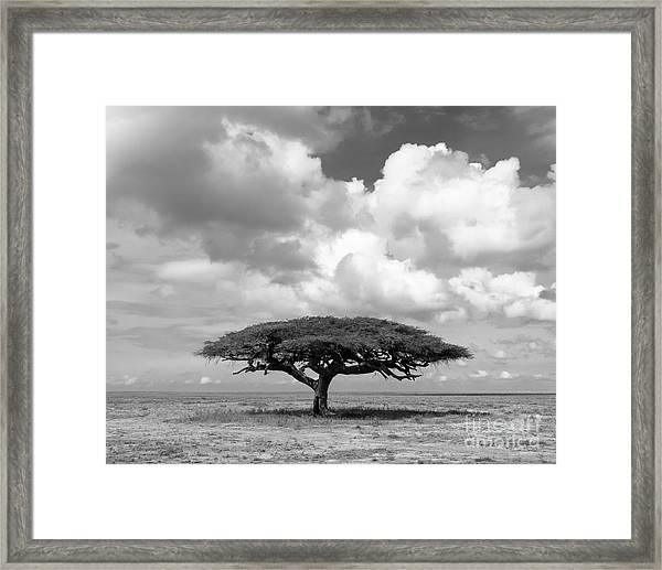 African Acacia Tree Framed Print
