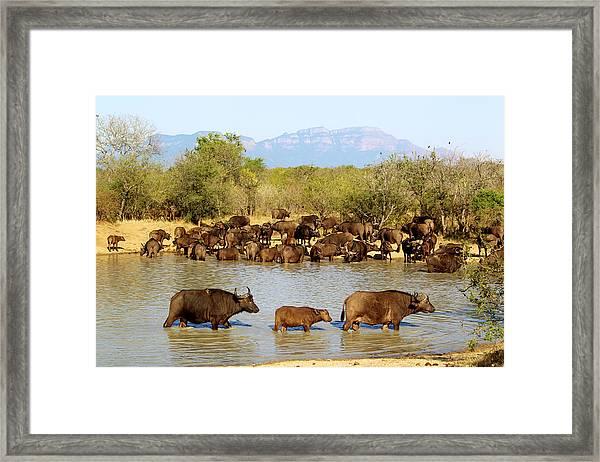 African Buffaloes Drinking Framed Print by Heinrich Van Den Berg