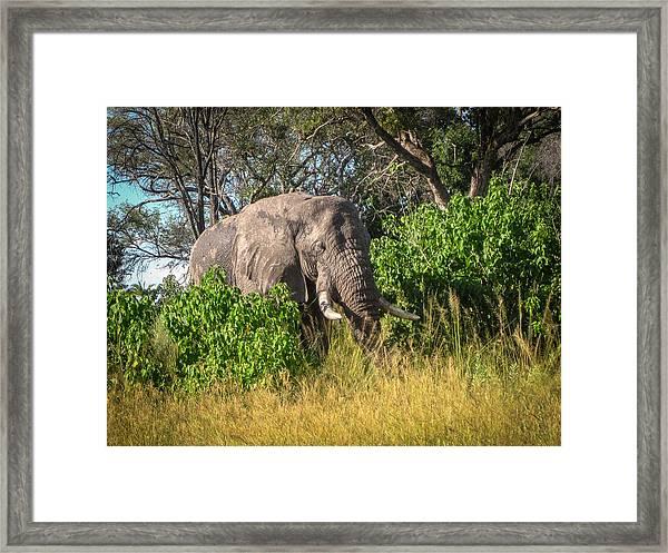 African Bush Elephant Framed Print