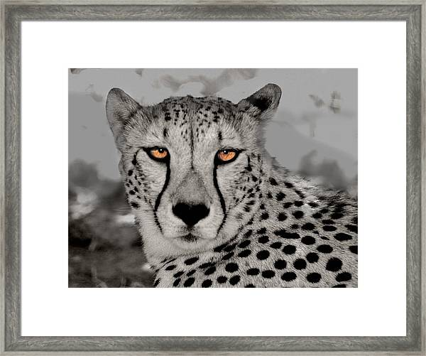 African Cheetah Framed Print