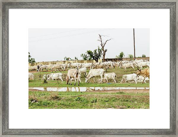 African Cows Framed Print by Jordiramisa
