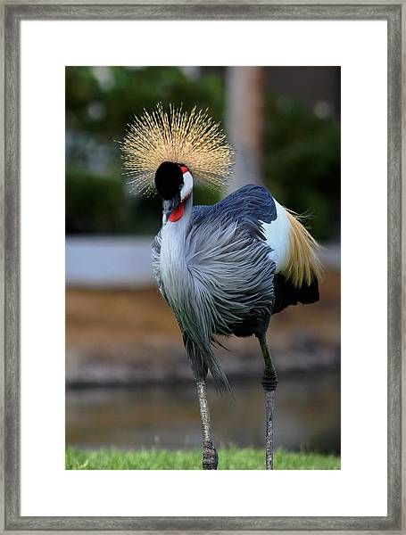 African Crowned Crane Running Framed Print