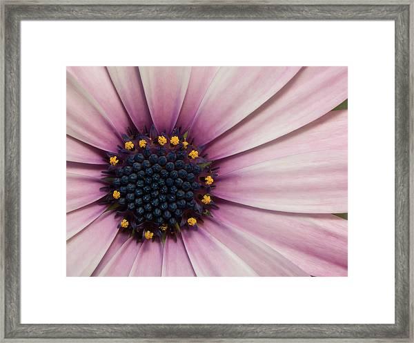African Daisy Framed Print