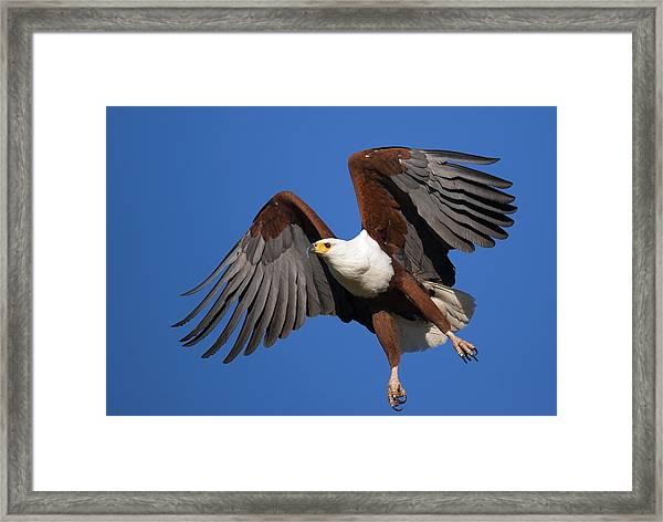 African Fish Eagle Framed Print