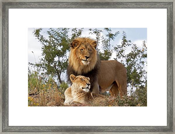 African Lion And Lioness Botswana Framed Print