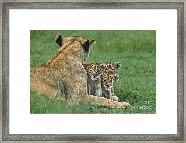 African Lion Cubs Study The Photographer Tanzania Framed Print