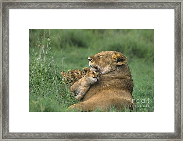African Lions Mother And Cubs Tanzania Framed Print