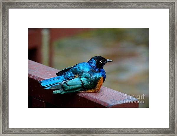 African Superb Starling Bird Rests On Wooden Beam Framed Print