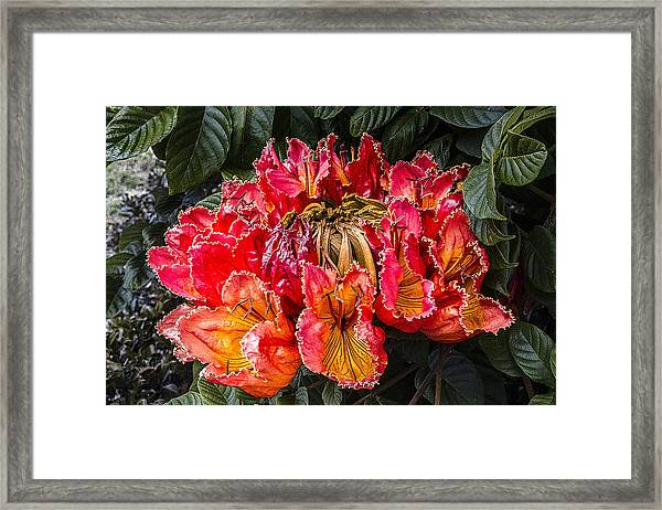African Tulip Tree Flowers Framed Print