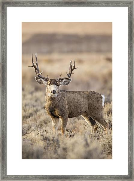 Afternoon Buck Framed Print
