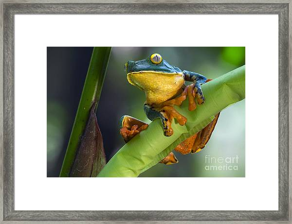 Agalychnis Calcarifer 4 Framed Print
