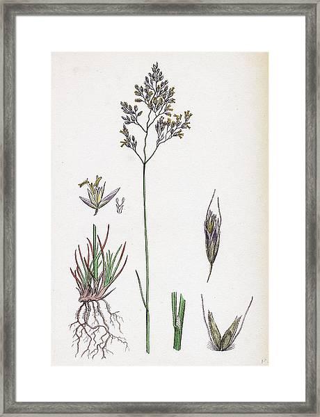 Aira Eu-fluxuosa Heath Hair-grass Framed Print by English School