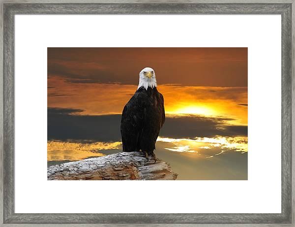 Alaskan Bald Eagle At Sunset Framed Print