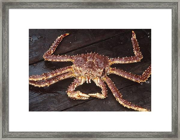 Alaskan King Crab Framed Print by Rondi Church