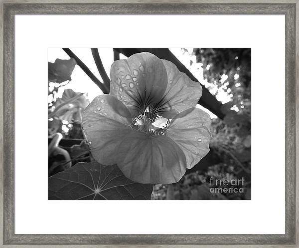 Alaskan Rose One Framed Print