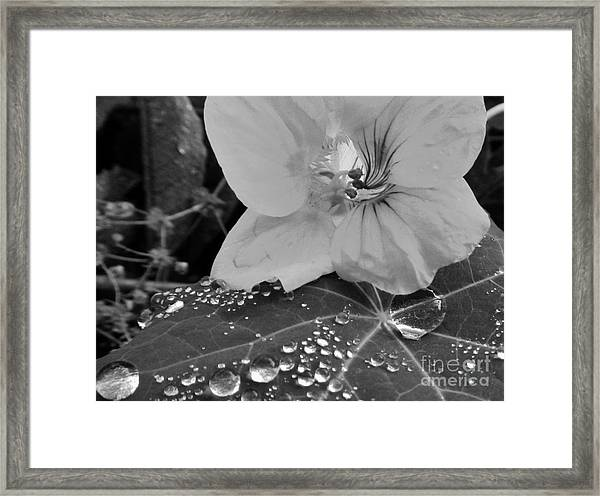 Alaskan Rose Three Framed Print