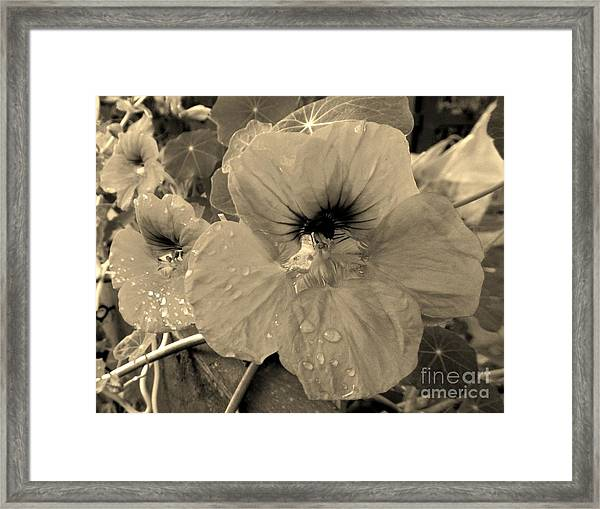Alaskan Rose Two Framed Print