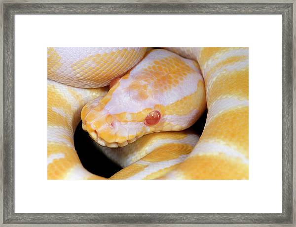 Albino Royal Python Framed Print