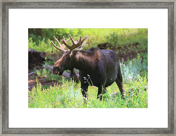 Albion Basin Moose Framed Print by Gene Praag