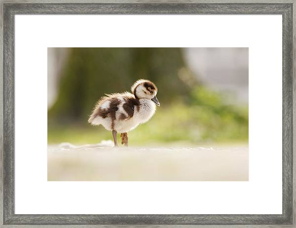 All Alone - Egyptean Gosling And A Tree Framed Print