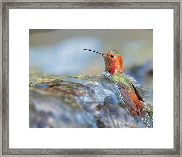 Allen's Hummingbird Taking A Bath On A Waterfall Framed Print