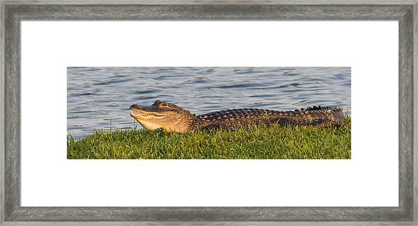 Alligator Smile Framed Print