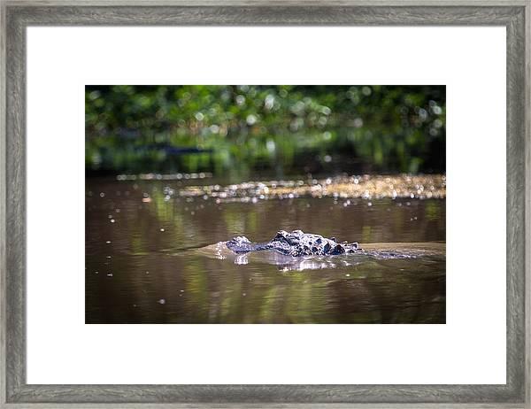 Alligator Swimming In Bayou 1 Framed Print