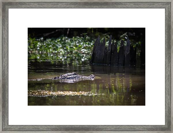 Alligator Swimming In Bayou 2 Framed Print