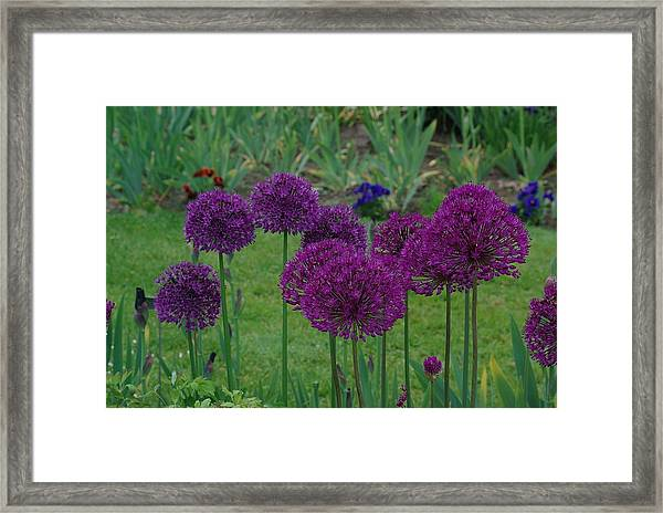 Allium Giganteum Framed Print
