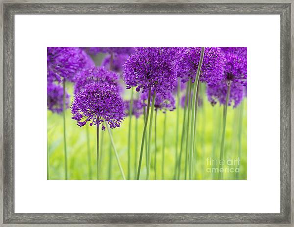 Allium Hollandicum Purple Sensation Flowers Framed Print