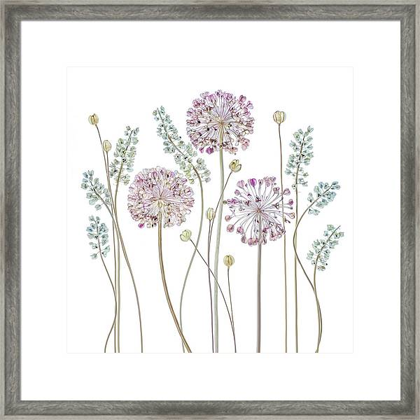 Allium Framed Print