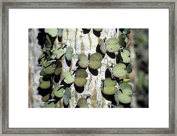 Alluaudia Procera Spines And Leaves Framed Print
