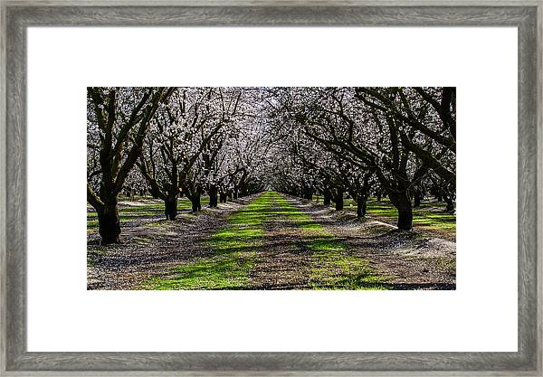 Almond Grove Framed Print