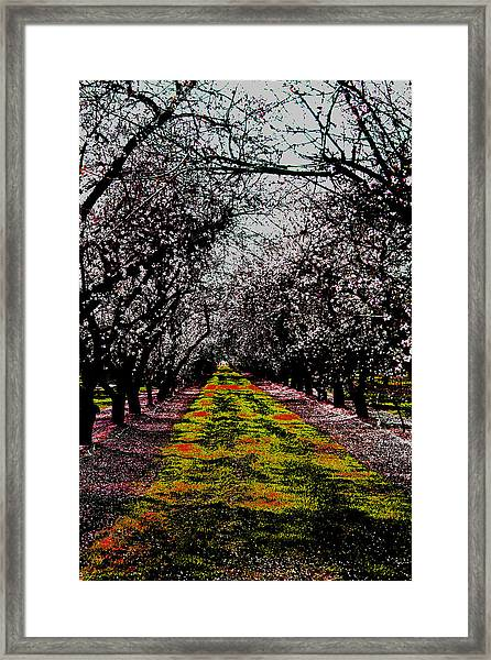 Almond Trees In Bloom Framed Print
