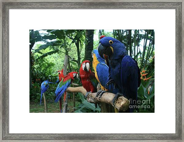 Aloha Kaua Aloha Mai No Aloha Aku Beautiful Macaw Framed Print