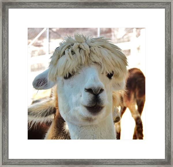 Alpaca Hair Do Framed Print