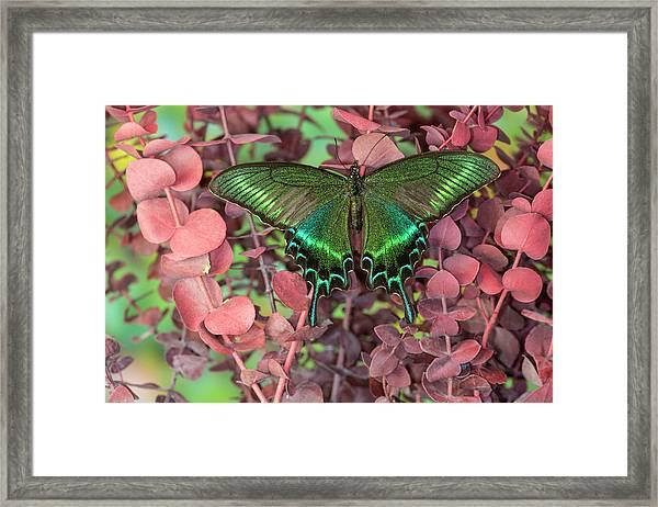 Alpine Black Swallowtail Butterfly Framed Print by Darrell Gulin