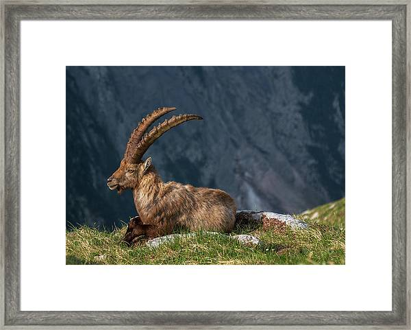 Alpine Ibex Framed Print by Ales Krivec