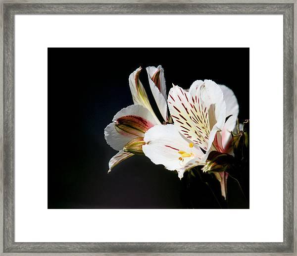 Alstroemeria Casablanca Framed Print