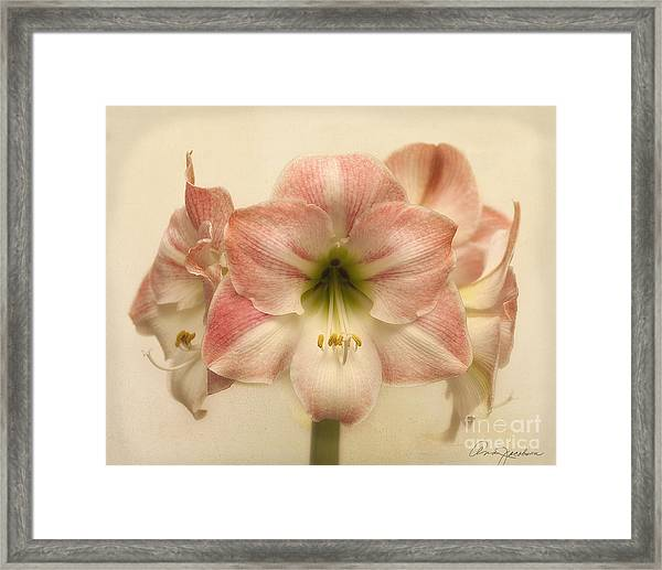 Amaryllis Apple Blossom Framed Print