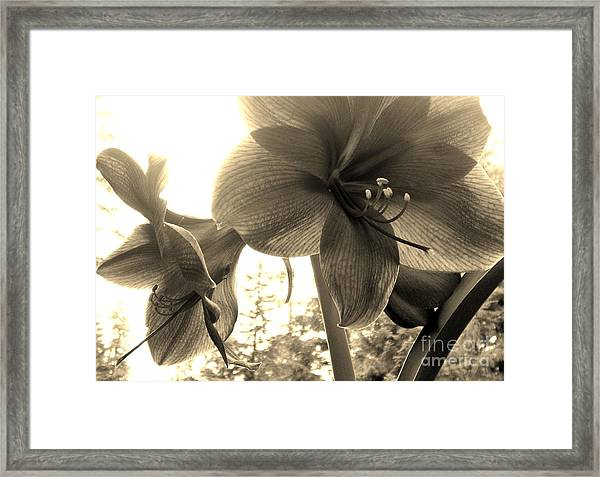 Amaryllis In Bloom Framed Print