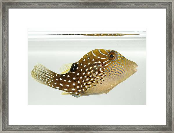 Ambon Toby Framed Print by Brian Magnier